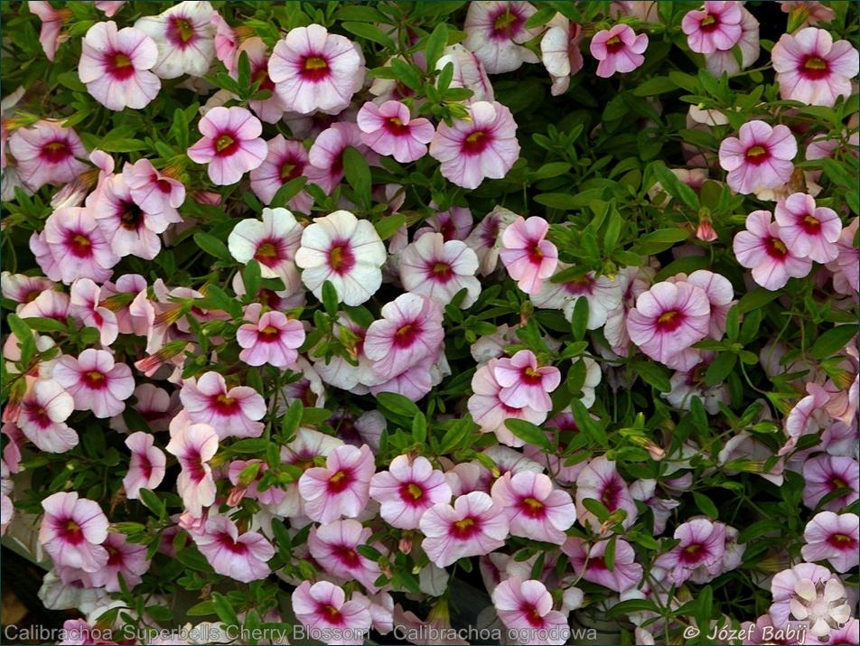 Calibrachoa 'Superbells Cherry Blossom' - Calibrachoa ogrodowa
