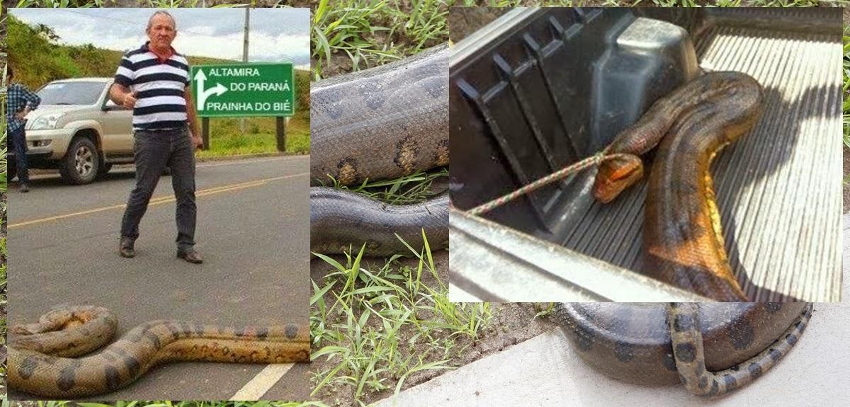 Cobra Sucuri é pega em Rodovia do Paraná