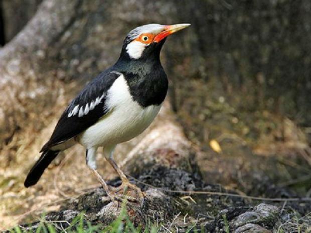 Merawat Burung Jalak Suren | Cara Merawat Burung Jalak Suren | Burung Jalak Suren.jpg