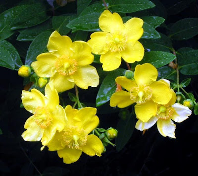 fotos de flores - rosa amarilla