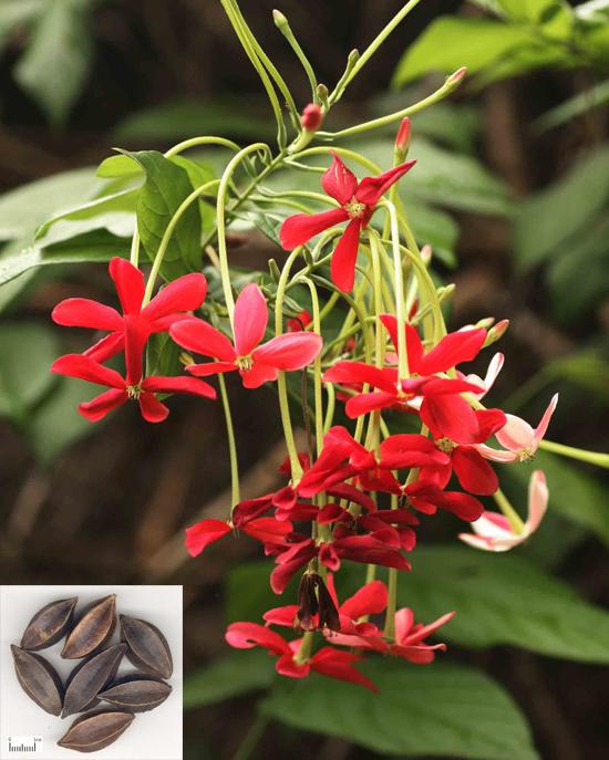Quisqualis indica L. (Fam. Combretaceae)
