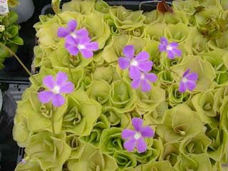 http://www.jadigitu.com/2012/08/10-spesies-tanaman-karnivora-yang-unik.html