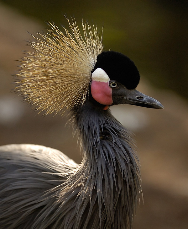 African crowned crane - photo#8