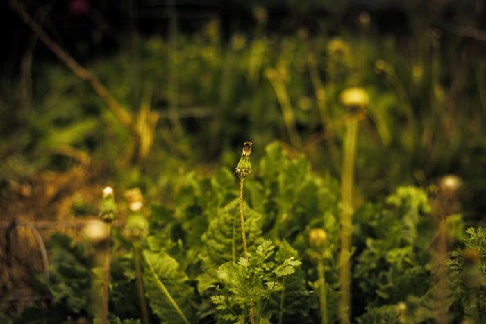 pic of garden right now- dying dandelion plant