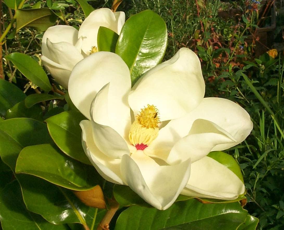 Peces y plantas ornamentales: Magnolia Grandiflora - Magnolio