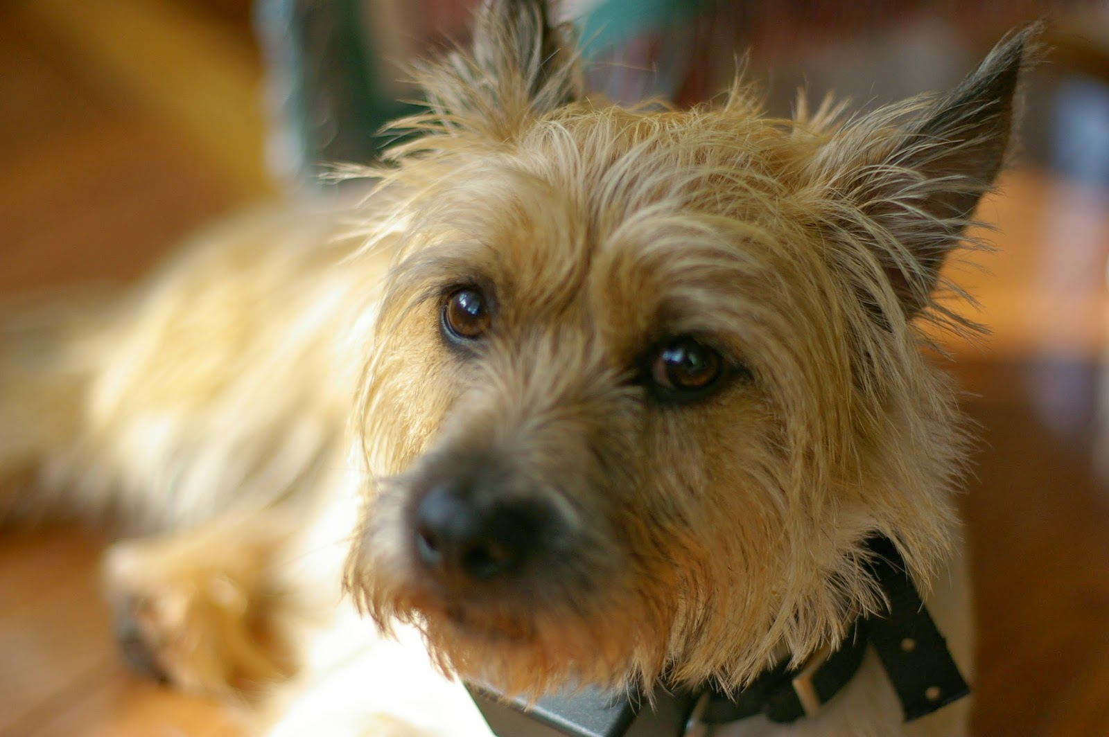 Animals World: cute pictures of cairn terrier puppies gallery