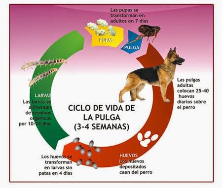 El ciclo biológico de la Pulga