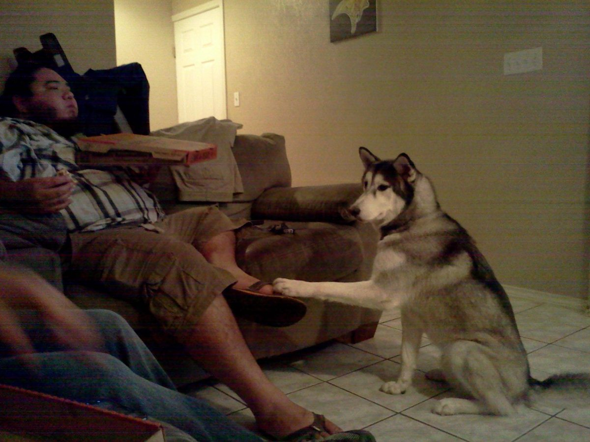 funny animals, animal pictures, husky wants pizza