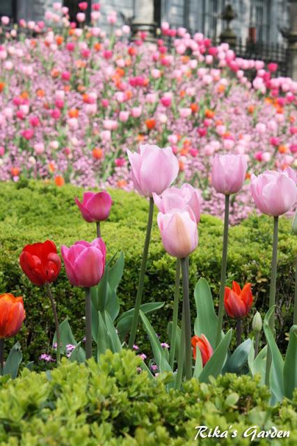 spring bento♪ -tulipani e soboro-