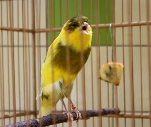 Foto Burung Kenari Yorkshire Terbaik