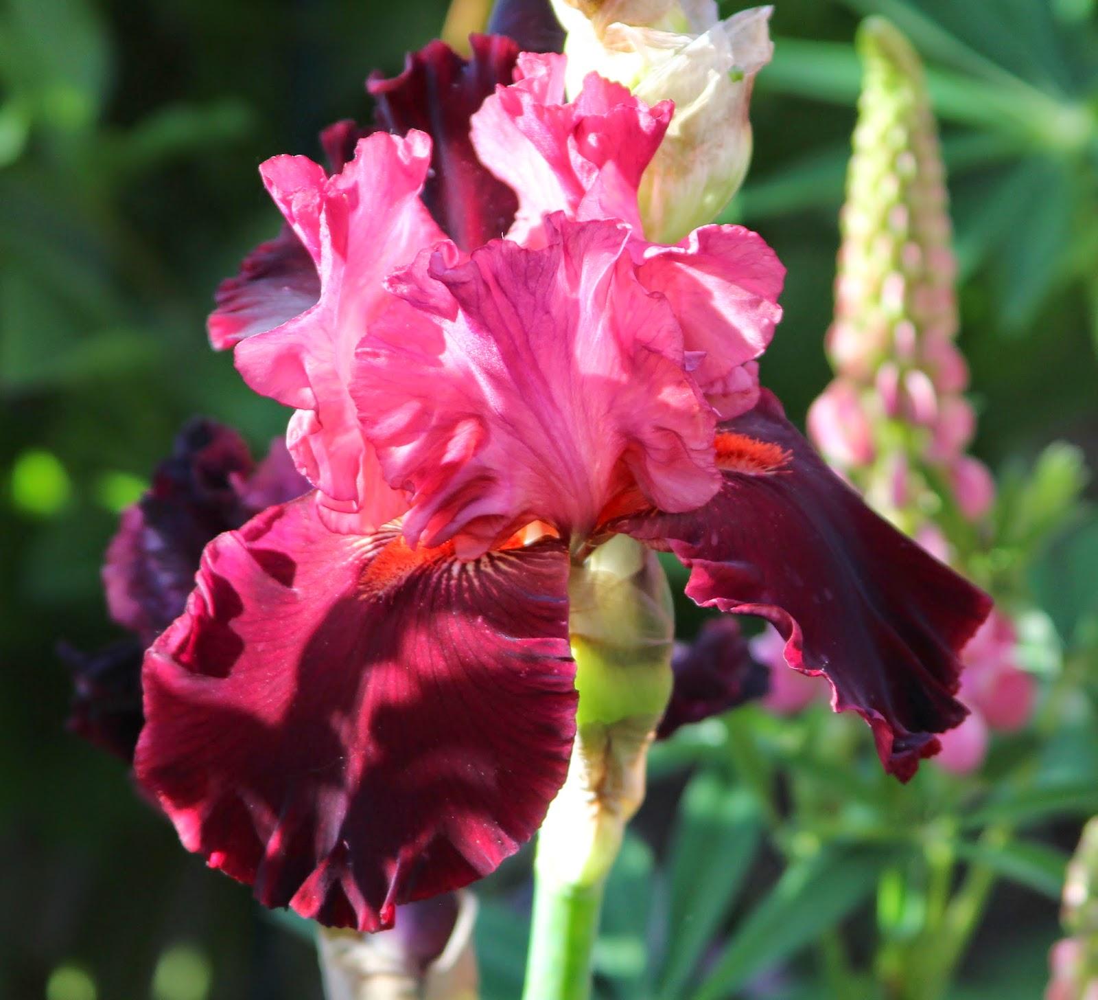 Разновидности цветка ириса фото