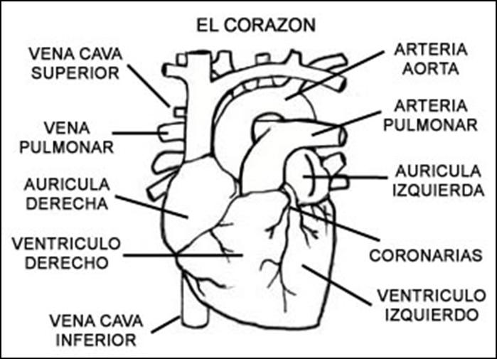 Dibujos para colorear del corazon y sus partes - Imagui