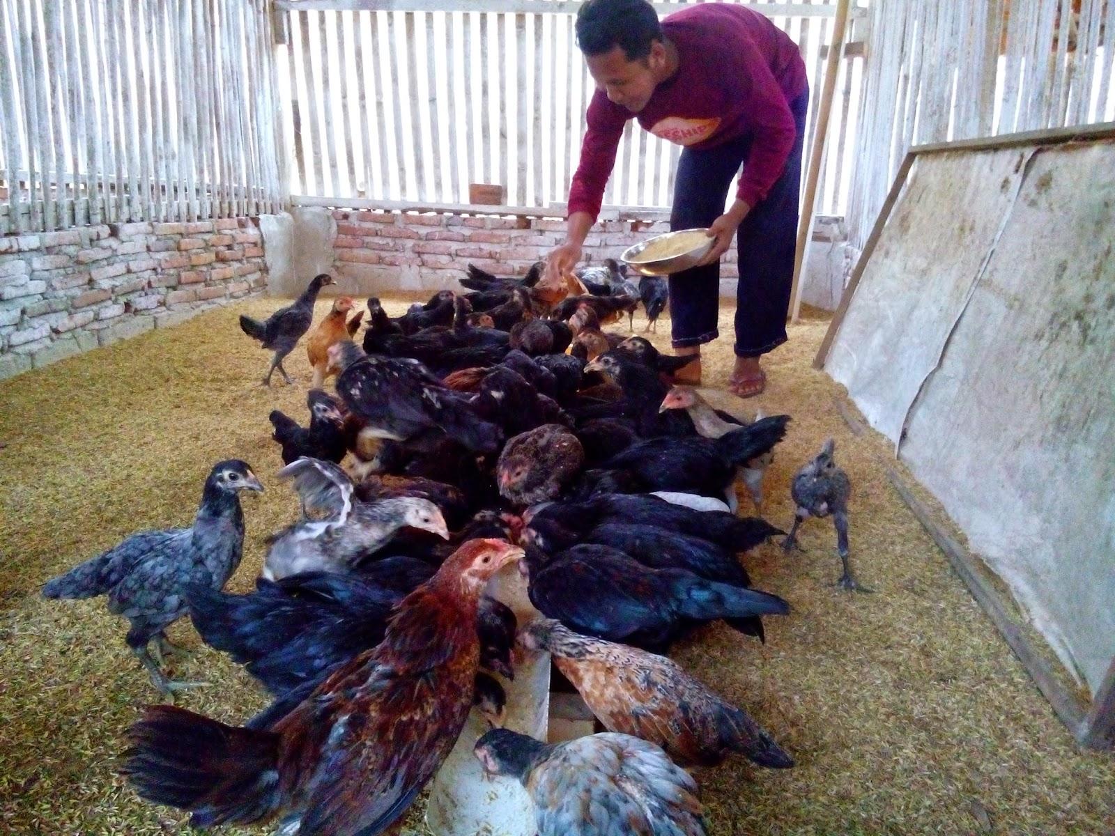 Cara Ayam Kampung Bertelur Setiap Hari Dan Cara