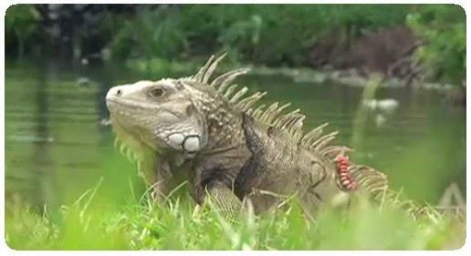 Ecopetrol e Instituto Von Humboldt alertan por tráfico de huevos de iguana #NoticiasNOTISAN