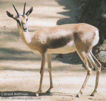 Speke ´s Gazelle