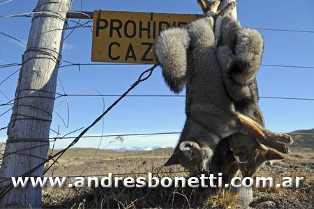 Parque Nacional Perito Moreno - Perito Moreno National Park - Zorro Colorado - Red Fox - Patagonia - Ruta 40 - Andrés Bonetti
