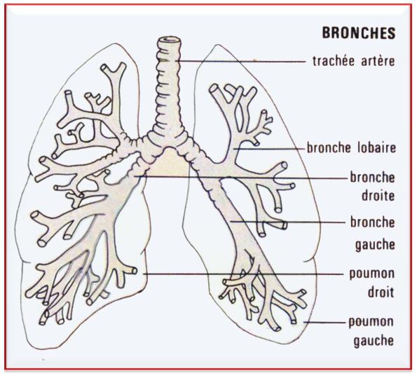 schéma des bronches.