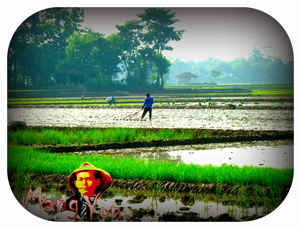 Naplak untuk menanam padi