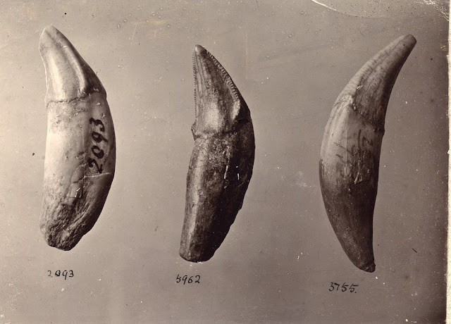 Canine teeth of Wolf, Hyaena and Machairodus. Kent's Cavern.  Photograph by A.R. Hunt, 1897.
