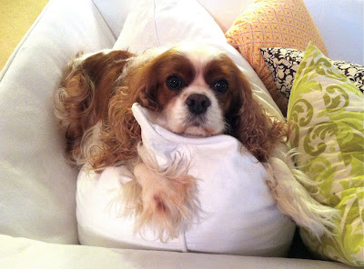 Emma the best Cavalier King Charles Spaniel in the world