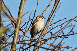 Tree Sparrow, 7th November 2009