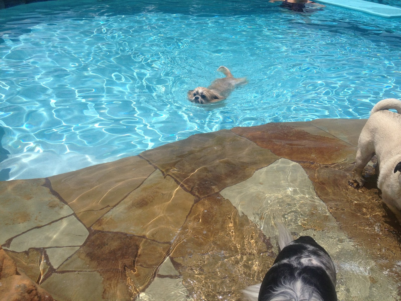 boo likes to cool off in the pool doggy in wonderland