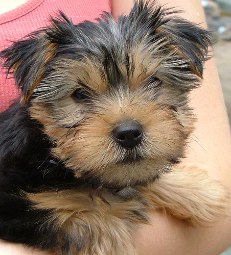Cute Dogs: Yorkshire Terrier Dogs