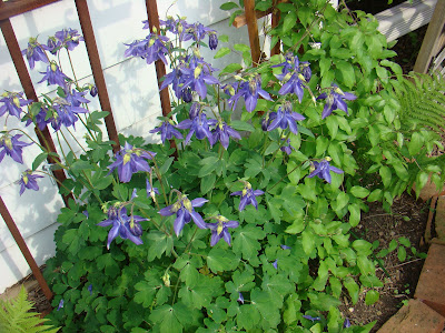gastronomic gardener This is a picture of columbine in a midwest garden