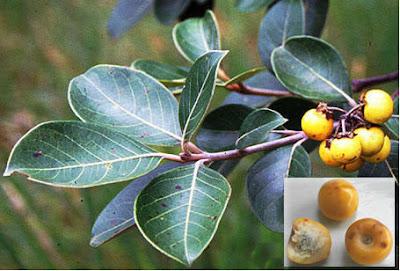 nancite y su relacion con la fauna Byrsonima crassifolia