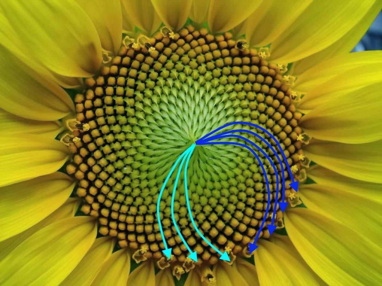 Disposición en espiral de las semillas de girasol