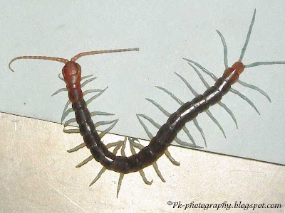 Red Head Centipede