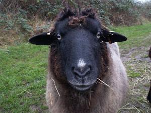 Unsere Schaf-Oma Bella, gestorben am 15.2.2012