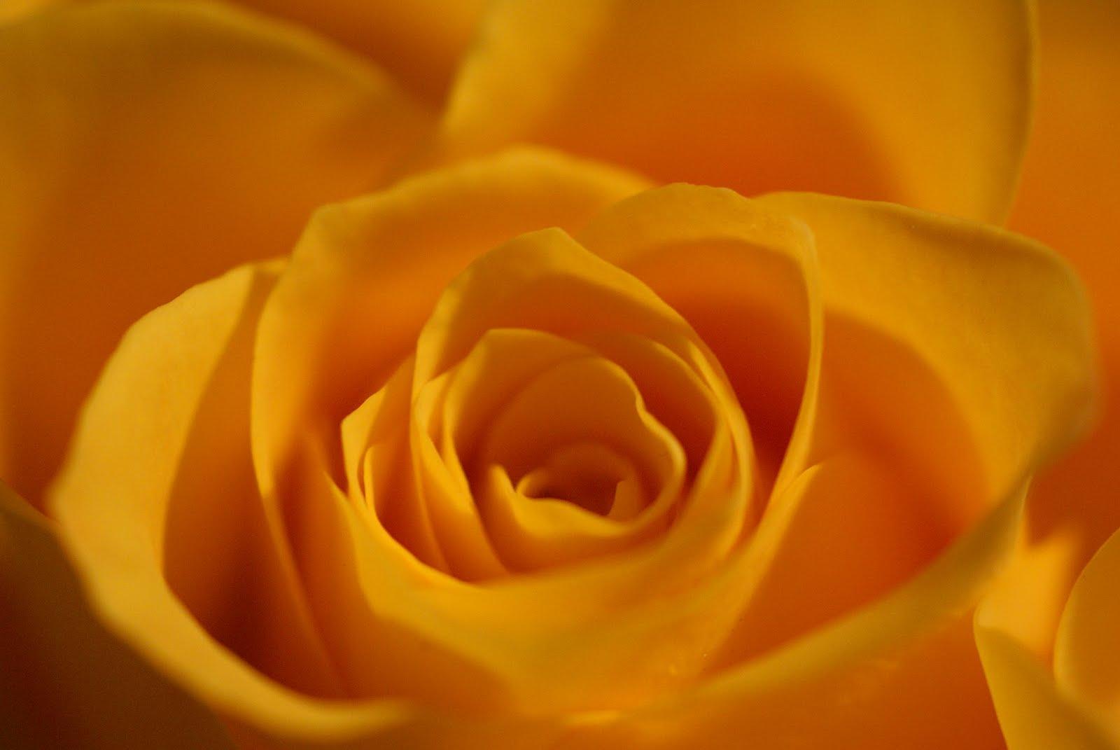 Yellow Wallpaper Yellow Rose HD Wallpaper Download Free