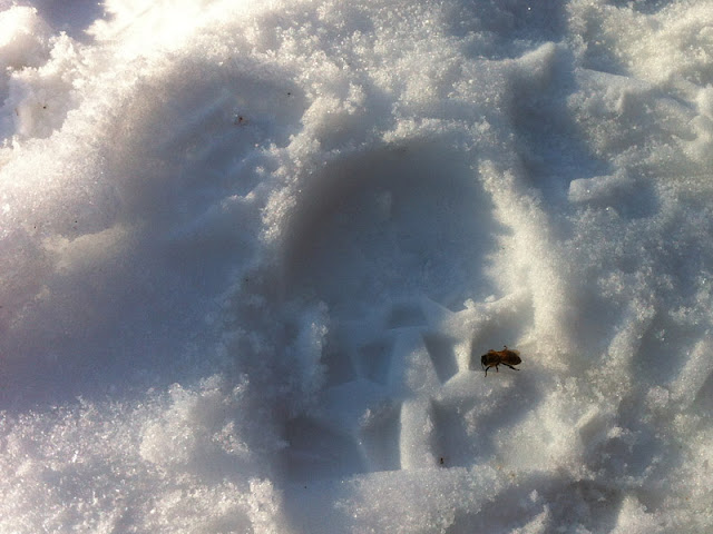 Bee in snow