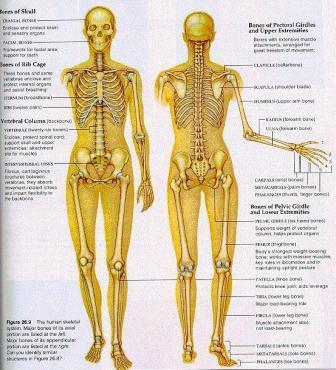Tulang+Manusia Macam macam Tulang Manusia