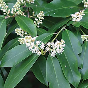P r landscaping inc landscape plants a k click on image for cherry laurel native tree that can be maintained as a large hedge small white spring flowers mightylinksfo