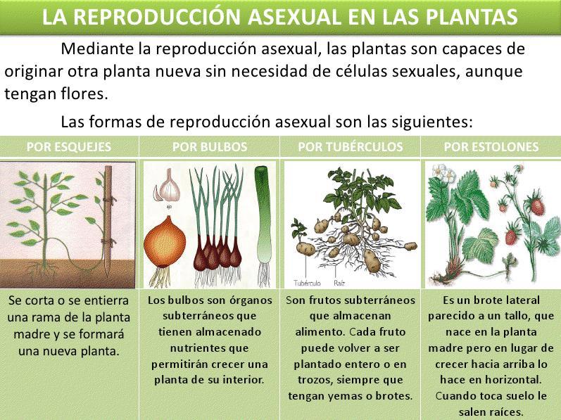 NATURALESC SOCIALES 5º Las Plantas