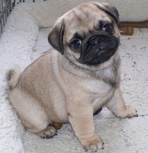 Cute Puppy Dogs: Cute Pug Puppies