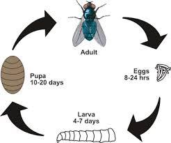 Siklus daur hidup lalat secara berurutan daur hidup lalat secara lengkap ccuart Gallery