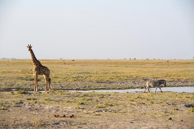 Giraffe and Zebra, Chobe National Park, Botswana - Kim Jay Photography