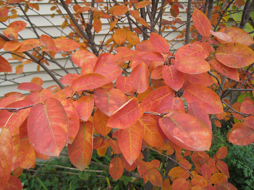 Autumn Brilliance Serviceberry3