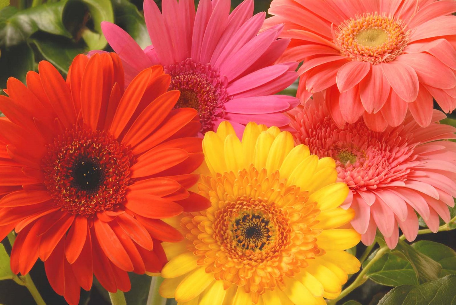 Canada Floral Delivery Blog A Few Facts About Gerbera Daisies
