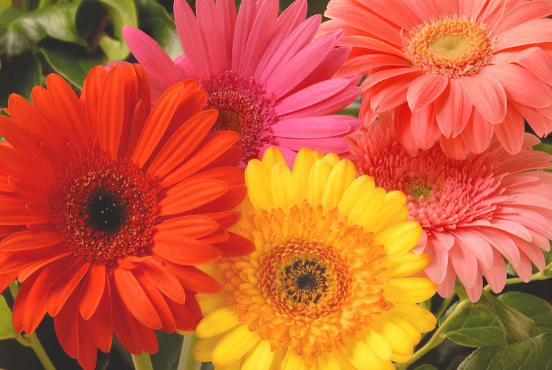 The flower heads can be a small as 7cm (known as the mini gerbera) or  title=