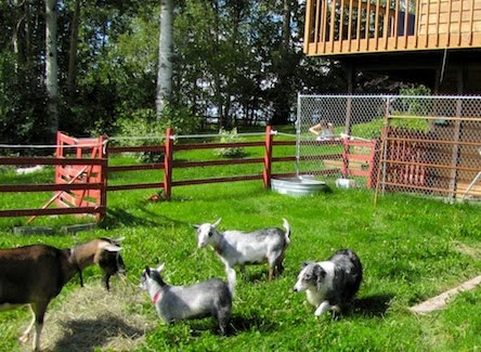backyard goat barn backyard goat barn