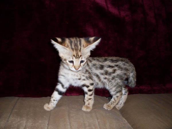 Big Savannah Cats Full Grown