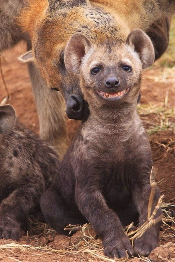 Funny animals of the week - 28 March 2014 (40 pics), smiling hyena