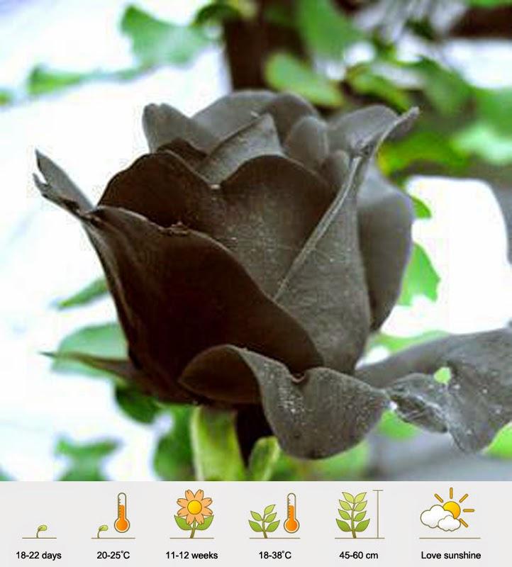 Jual Bibit Mawar Hitam - Black Rose - Murah