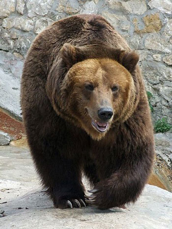 Brown bears  Funny Animal