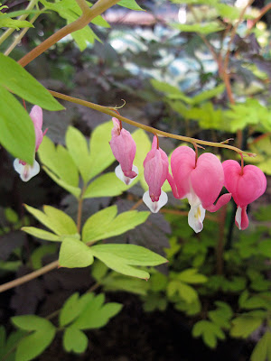 Dicentra spectrabilis 'Gold Heart'