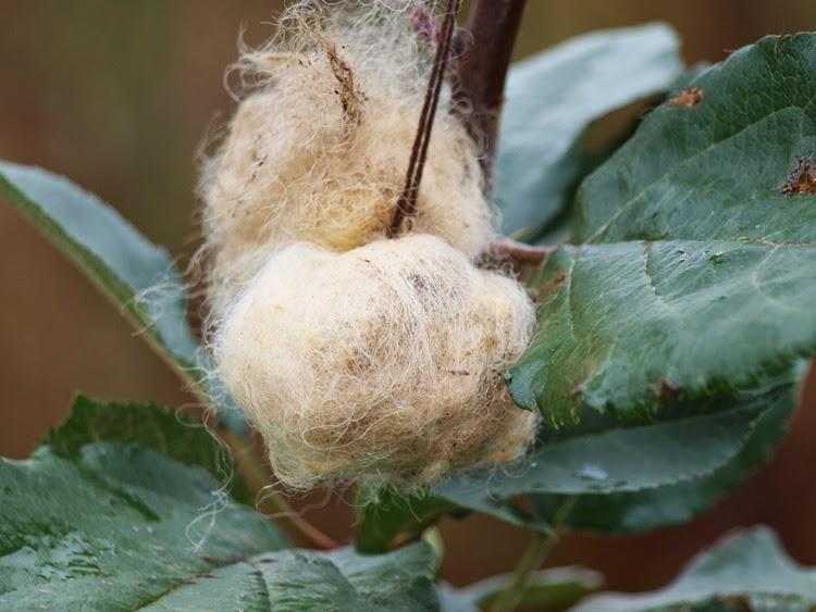 Uldtotter i træer og buske til kamp mod rådyrangreb i haven